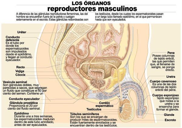 el aparato reproductor masculino con todas sus partes