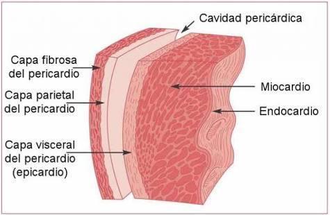 diferencia entre miocardio y pericardio - Brainly.lat