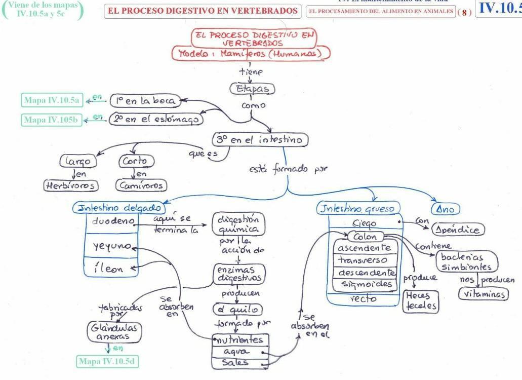 Mapa Conceptual Aparato Digestivo.Mapa Conceptual Sistema Digestivo Vertebrados Brainly Lat
