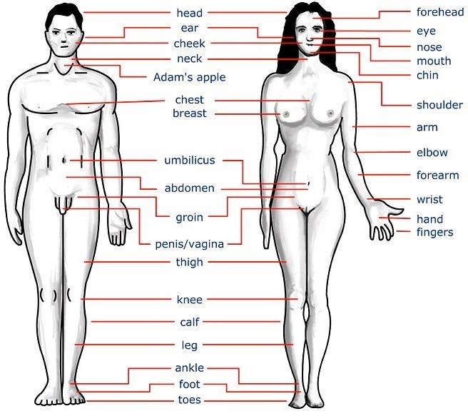el cuerpo humano con sus partes en ingles muchas gracias brainly lat