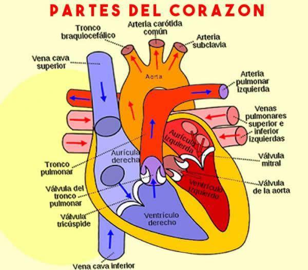 cuales son las partes del corazon - Brainly.lat