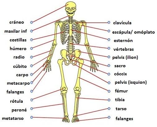 ayudame con dibujos de huesos cortos largos y planos del cuerpo