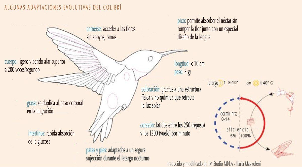 ciclo de vida del colibri para niños de primero de primaria para ...