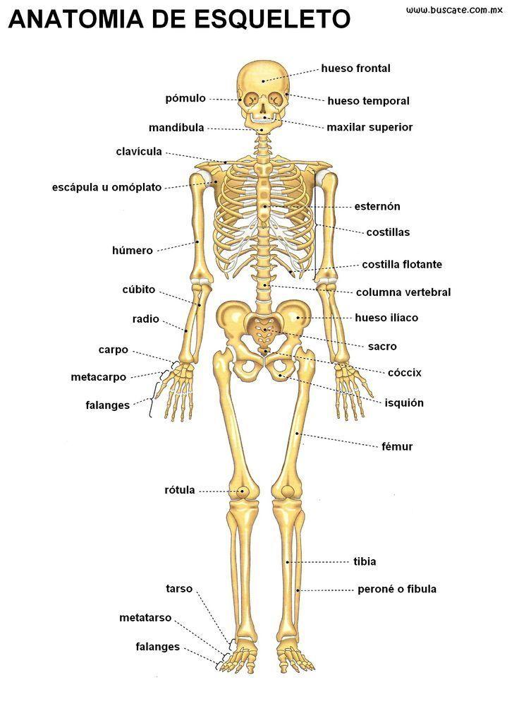 Ayusa necesito imagenes de esqueletos humanos con sus partes ...