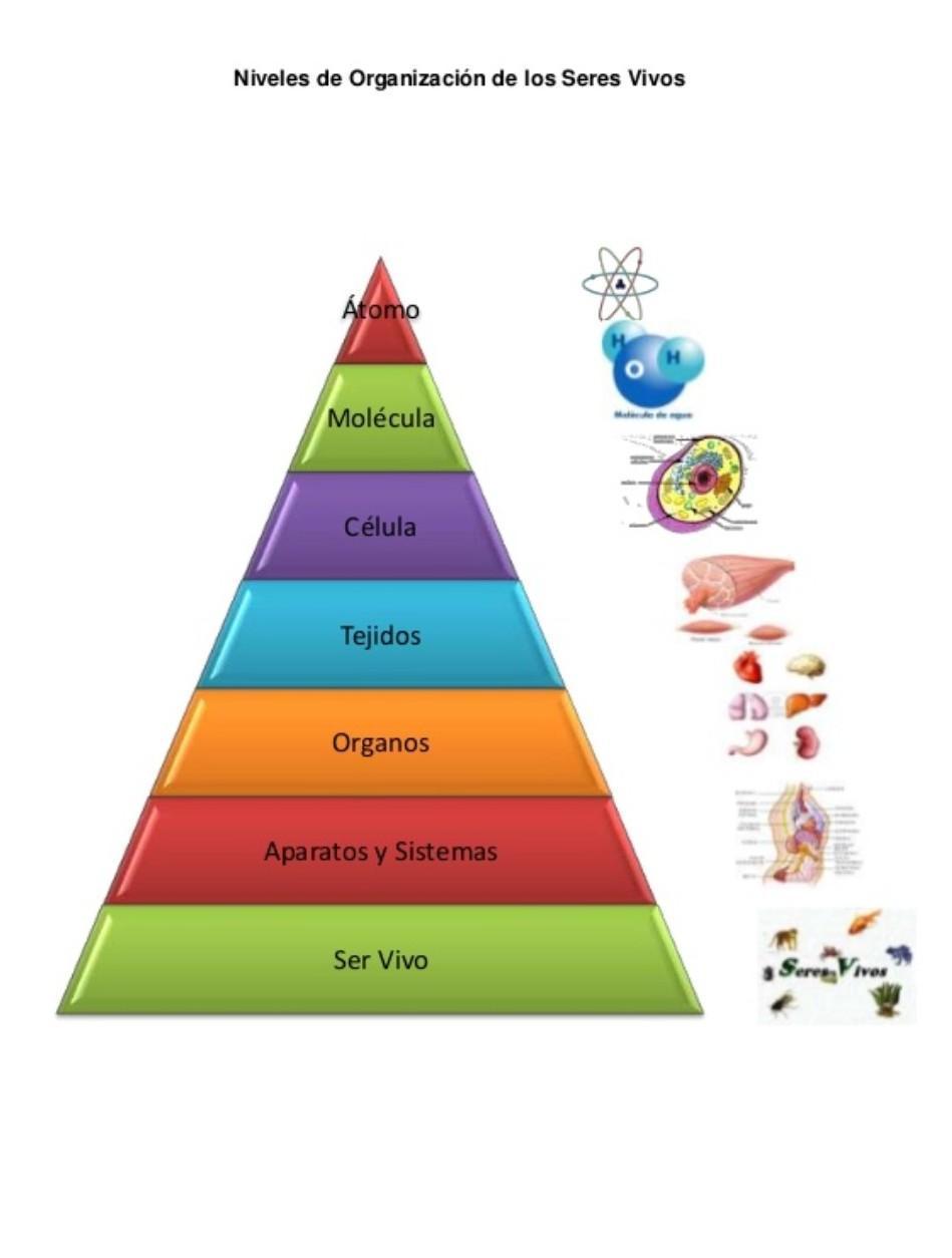 Como Ordeno Los Niveles De Organizacion De Los Seres Vivos En Una Piramidemoleculaparticulas Brainly Lat