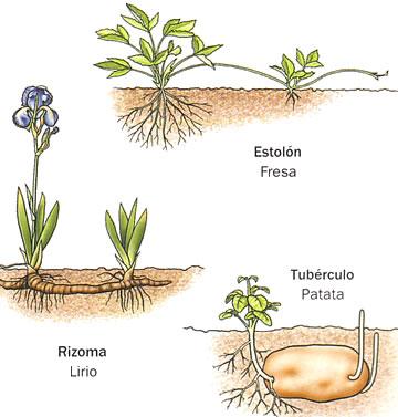 Necesitos imagenes de plantas sexual y asexual que se for Planta ornamental que se reproduzca por esquejes