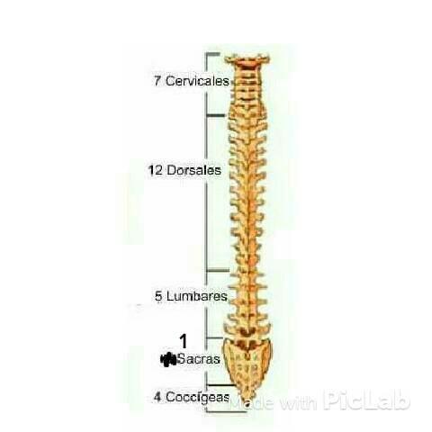 la espina dorsal humana esta formada por un grupo de huesos ...
