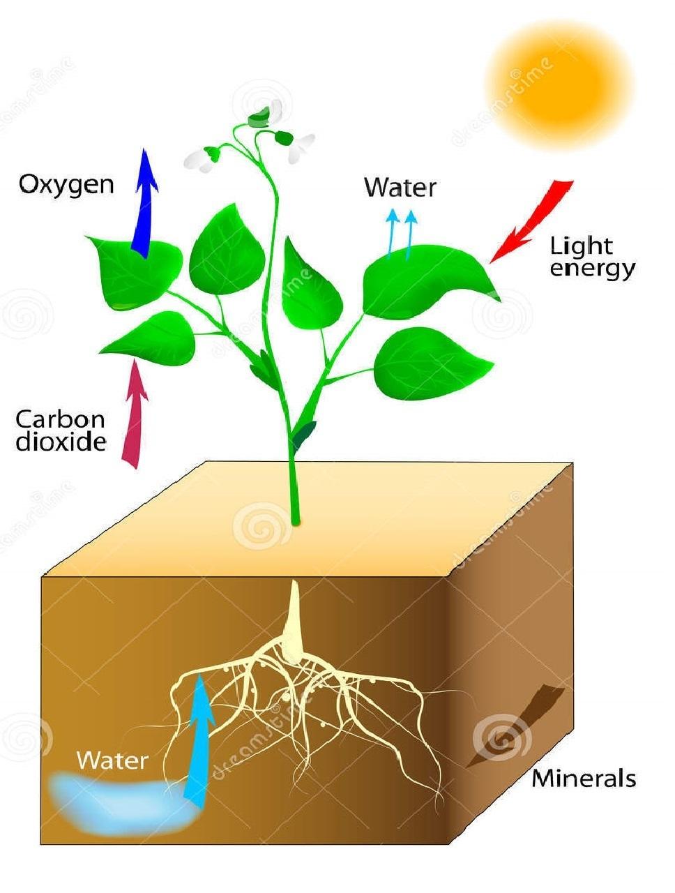 El proceso de la fotosintesis en la noche 30
