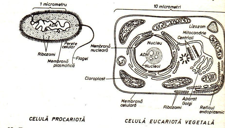 Necesito Dos Imagenes Para Colorear De Las Celulas Eucariota
