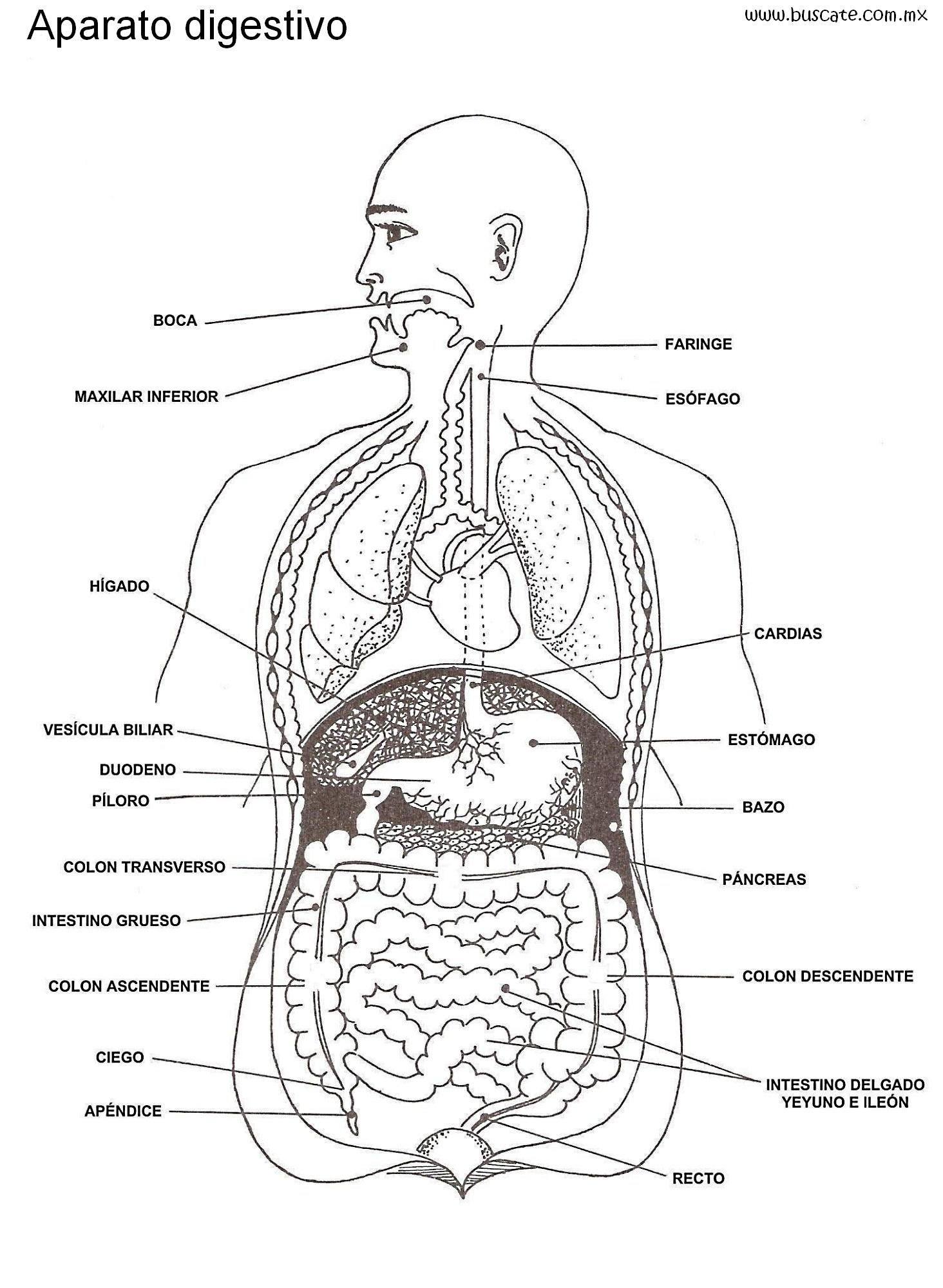 Aparato Digestivo Para Colorear Con Nombres Por Favor