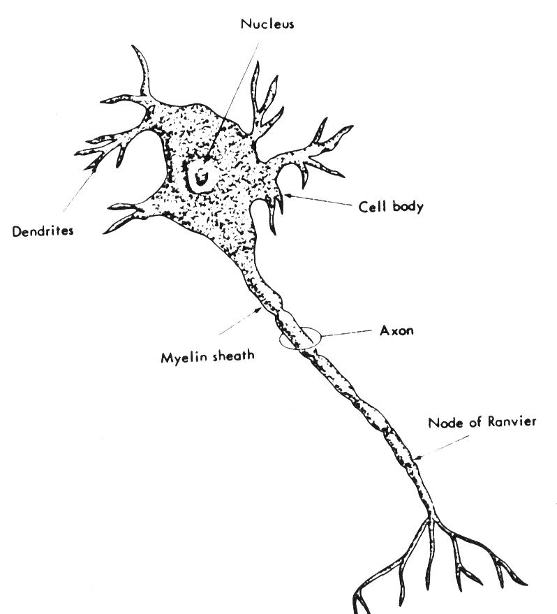 Necesito una imagen de una neurona motora y sus partes y otra de