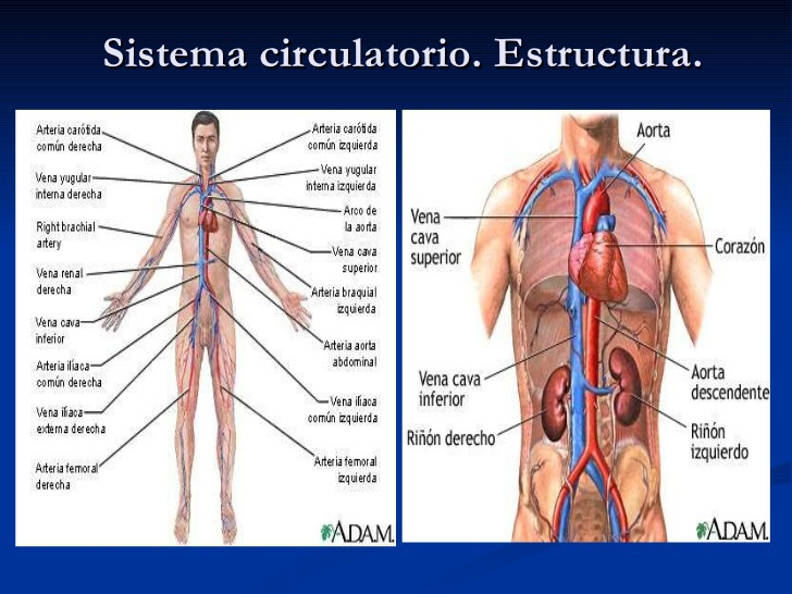 Moderno Adam Anatomía Interactiva En Línea Adorno - Anatomía de Las ...