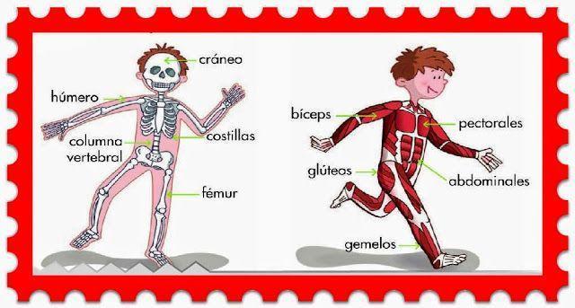 fotos de huesos y musculos del cuerpo humano