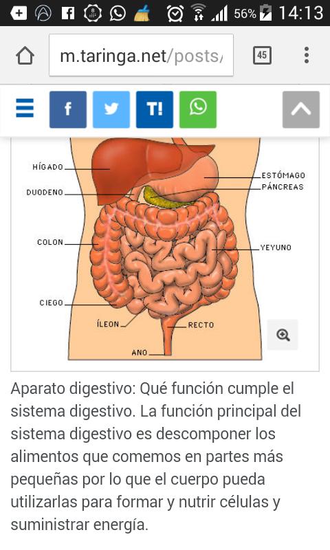 cual es la función del sistema digestivo? - Brainly.lat