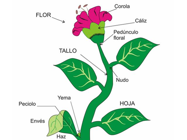 Cuales son las partes de un pez y de una planta for Plantas fundamentales