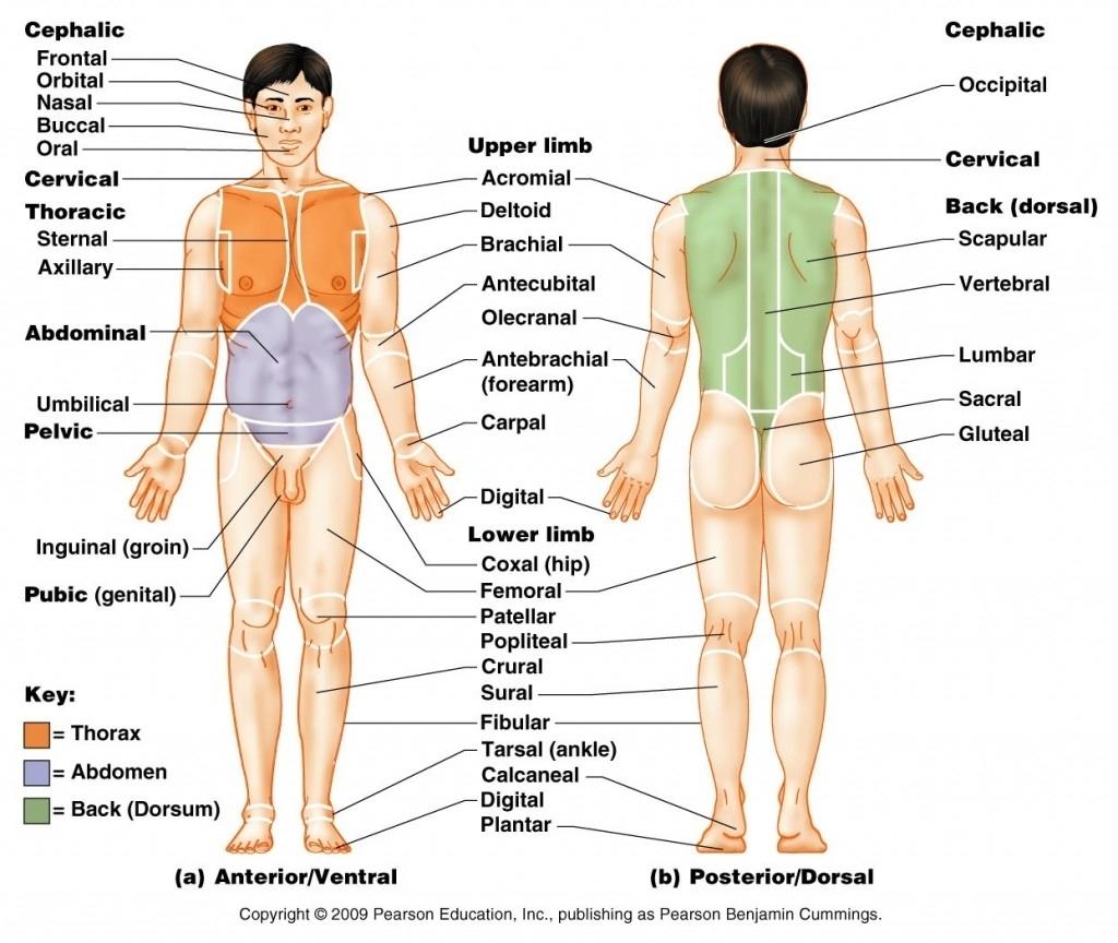 Organos del cuerpo en ingles