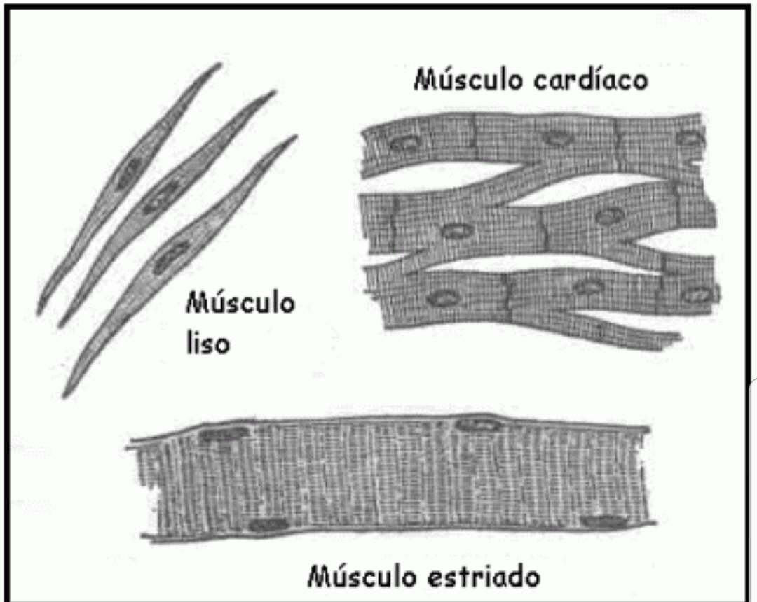 grafica del tejido muscular liso y estriado - Brainly.lat