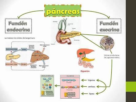 mapa conceptual de el pancreas laa hormonas q secreta y funcion de ...