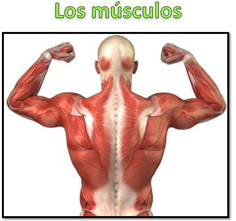 los principales musculos de las piernas