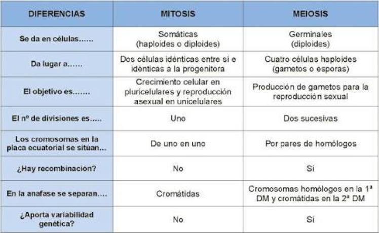 Cuadro Comparativo Entre Mitosis Y Meiosis Semejanzas