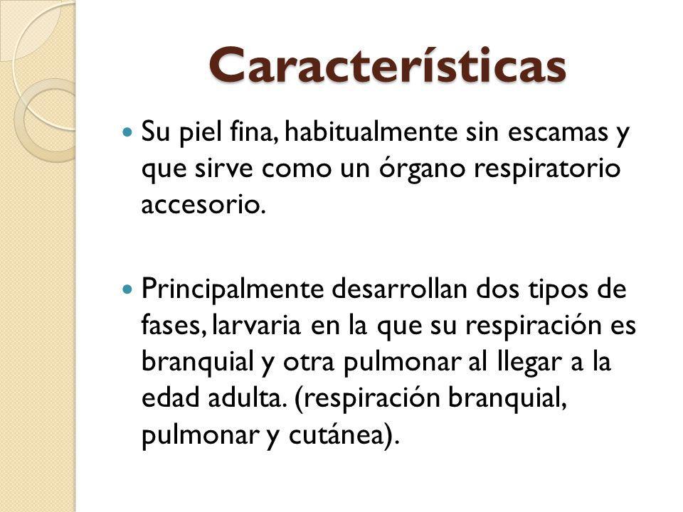 Caracter sticas de la respiraci n pulmonar for Caracteristicas de la oficina wikipedia