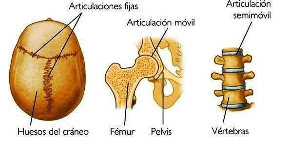 Cartilaginosas diferencia y fibrosas sinoviales las articulaciones entre