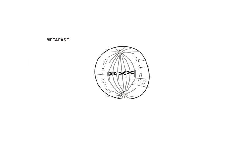 Dibuja La Estructura De Un Cromosoma En Metafase E Indica