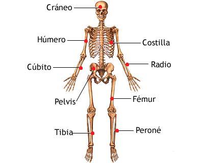 peroné huesos de la pierna