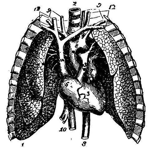 que organos protegen las costillas y el esternon
