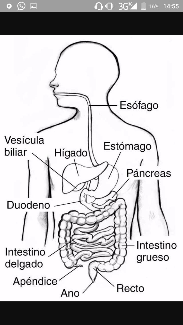 Sistema Digestivo Para Colorear Si Alguien Me Puede Ayudar