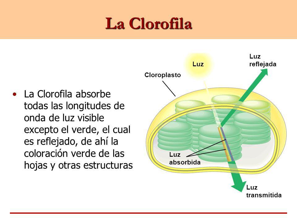cual es la función de la clorofila? - Brainly.lat