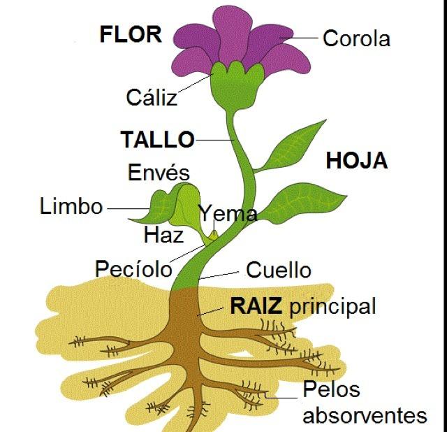 Las Plantas Y Sus Partes Para Colorear Ayuda Porfa Brainlylat