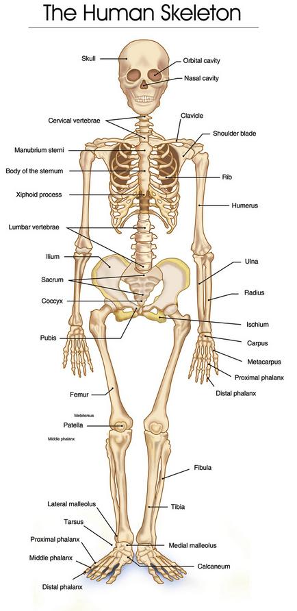 partes del esqueleto humano en ingles - Brainly.lat