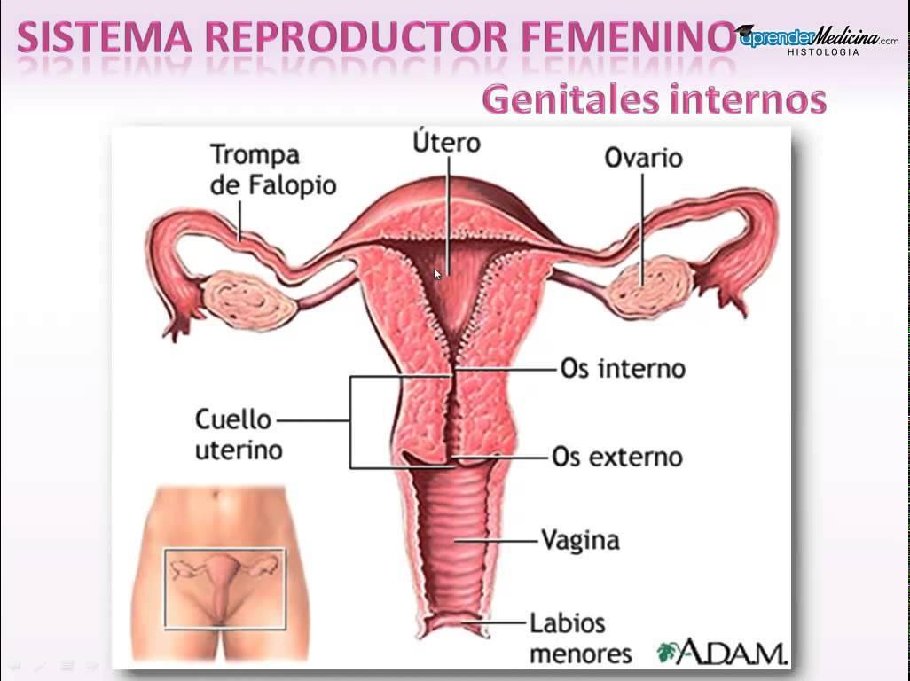 Hermosa Respuestas Hoja De Trabajo Sistema Reproductivo Colección ...
