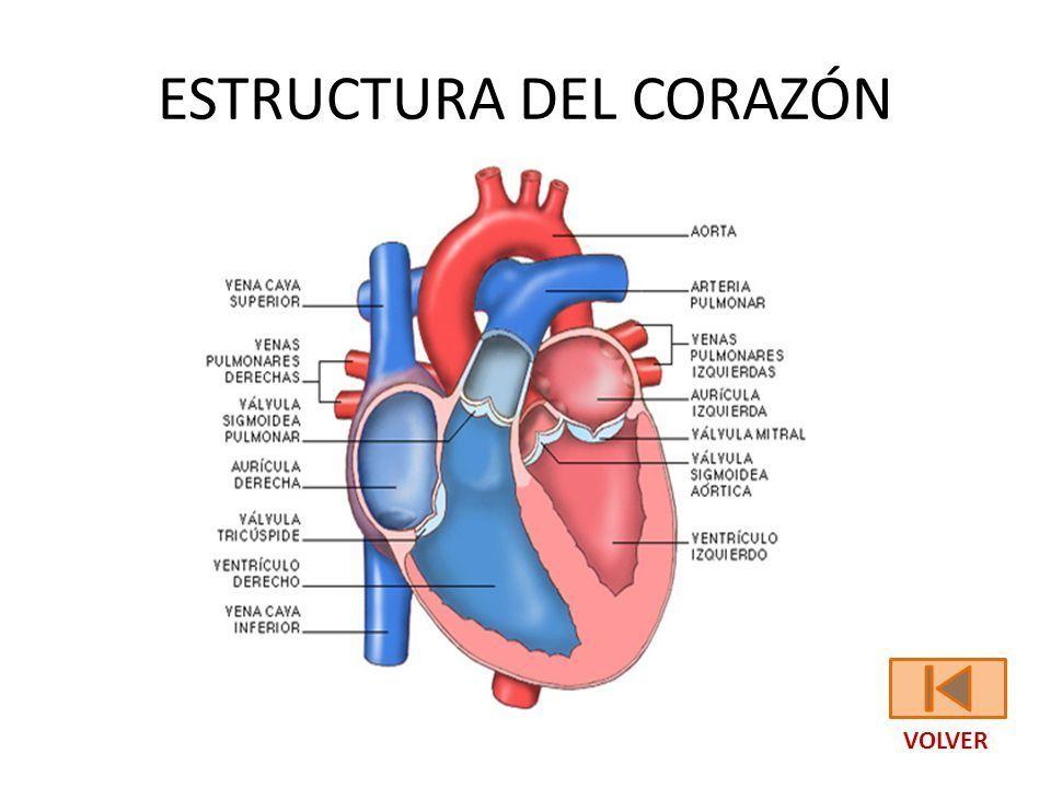 Moderno La Estructura Del Corazón Adorno - Anatomía de Las ...