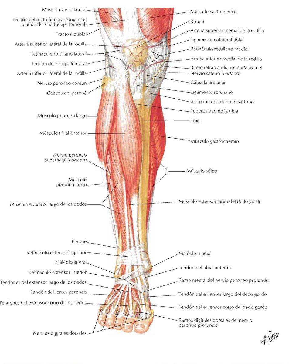 Como se llama los muslos de las piernas - Brainly.lat