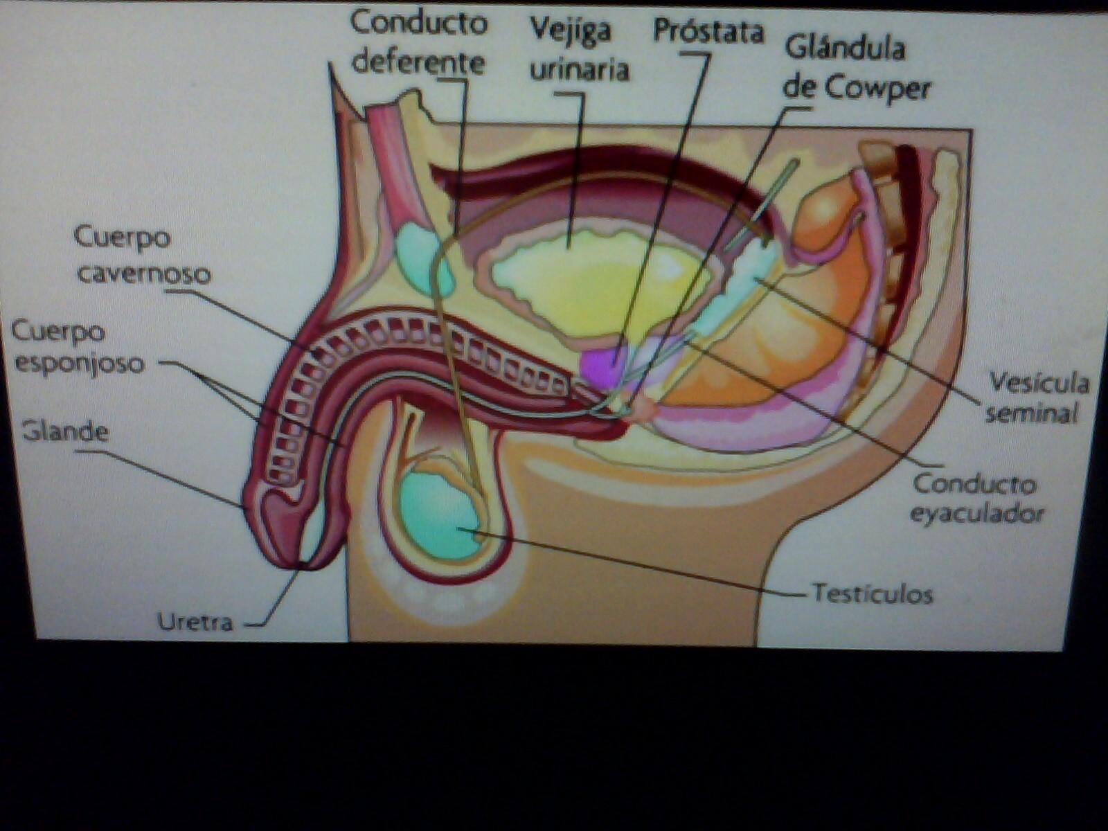 organos internos y externos del aparato reproductor masculino , si ...