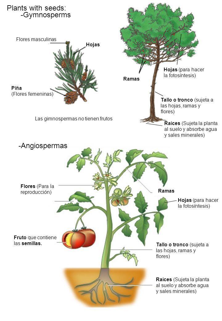 4 ejemplos de plantas con semillas for Plantas sin semillas