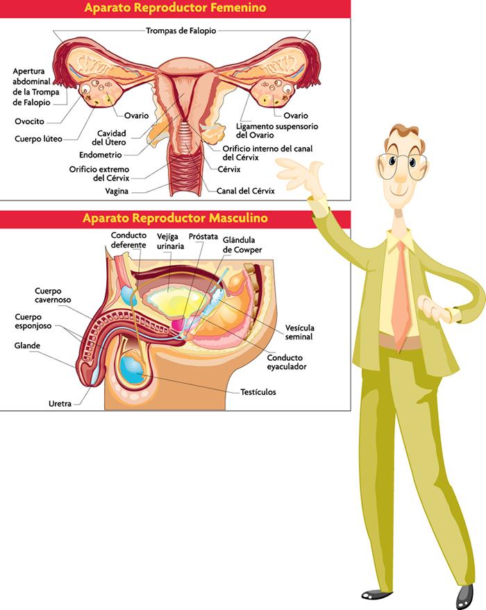 es el conjunto de órganos internos y externos que forman parte ...