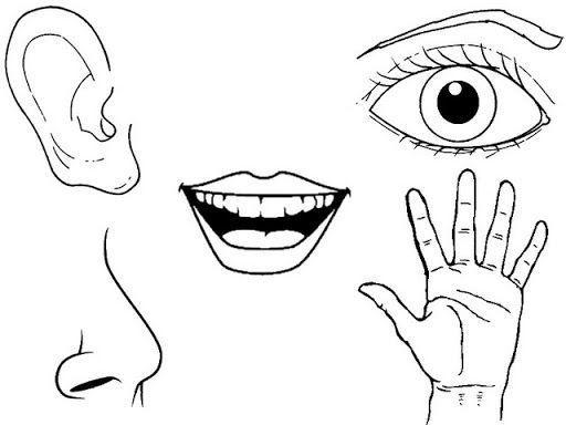 Imagenes De Los Cinco Sentidos Para Colorear Brainlylat