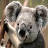 Koalatwo
