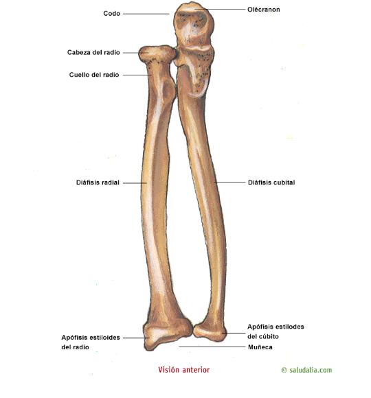 los huesos que forman la region del antebrazo - Brainly.lat