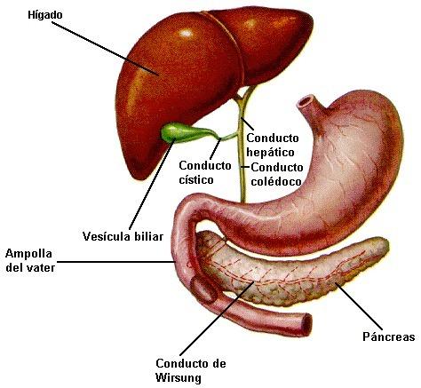 función y ubicación de páncreas: -función endocrina: -función ...