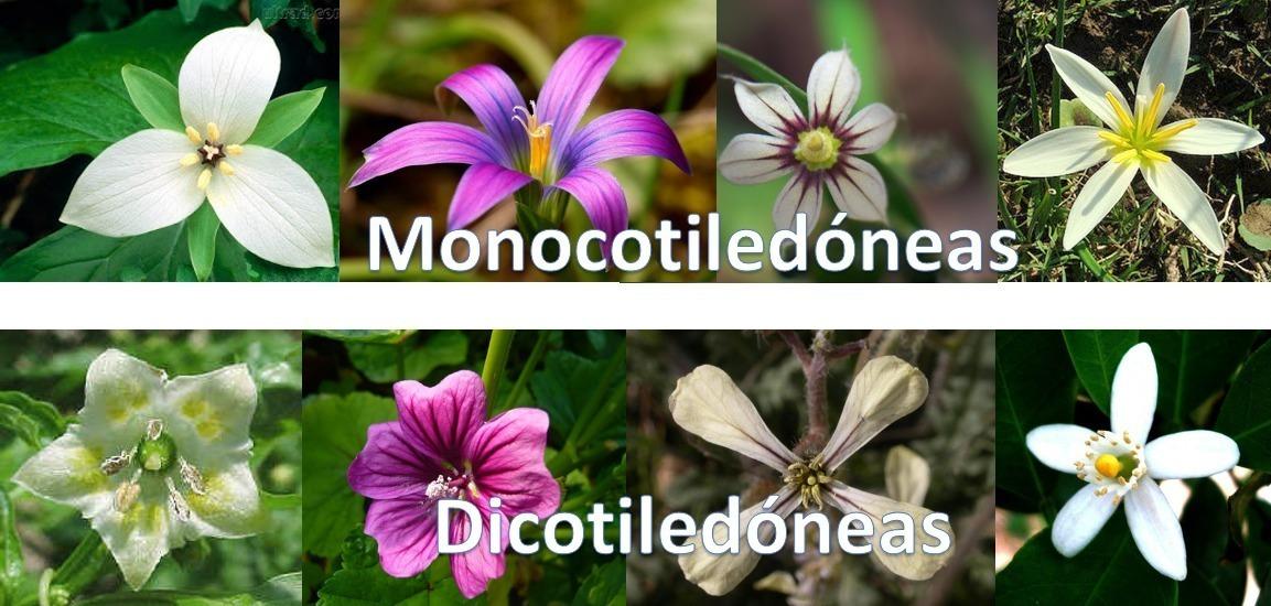 Resultado de imagen para imagenes de planta monocotiledóneas
