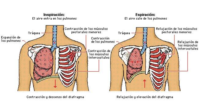 cuantos músculos se usan al respirar - Brainly.lat