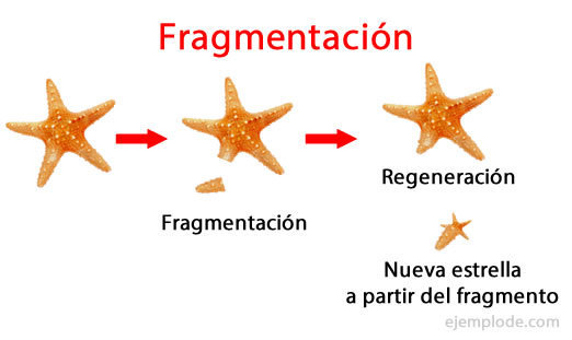 Que es fragmentation reproduccion asexual de plantas
