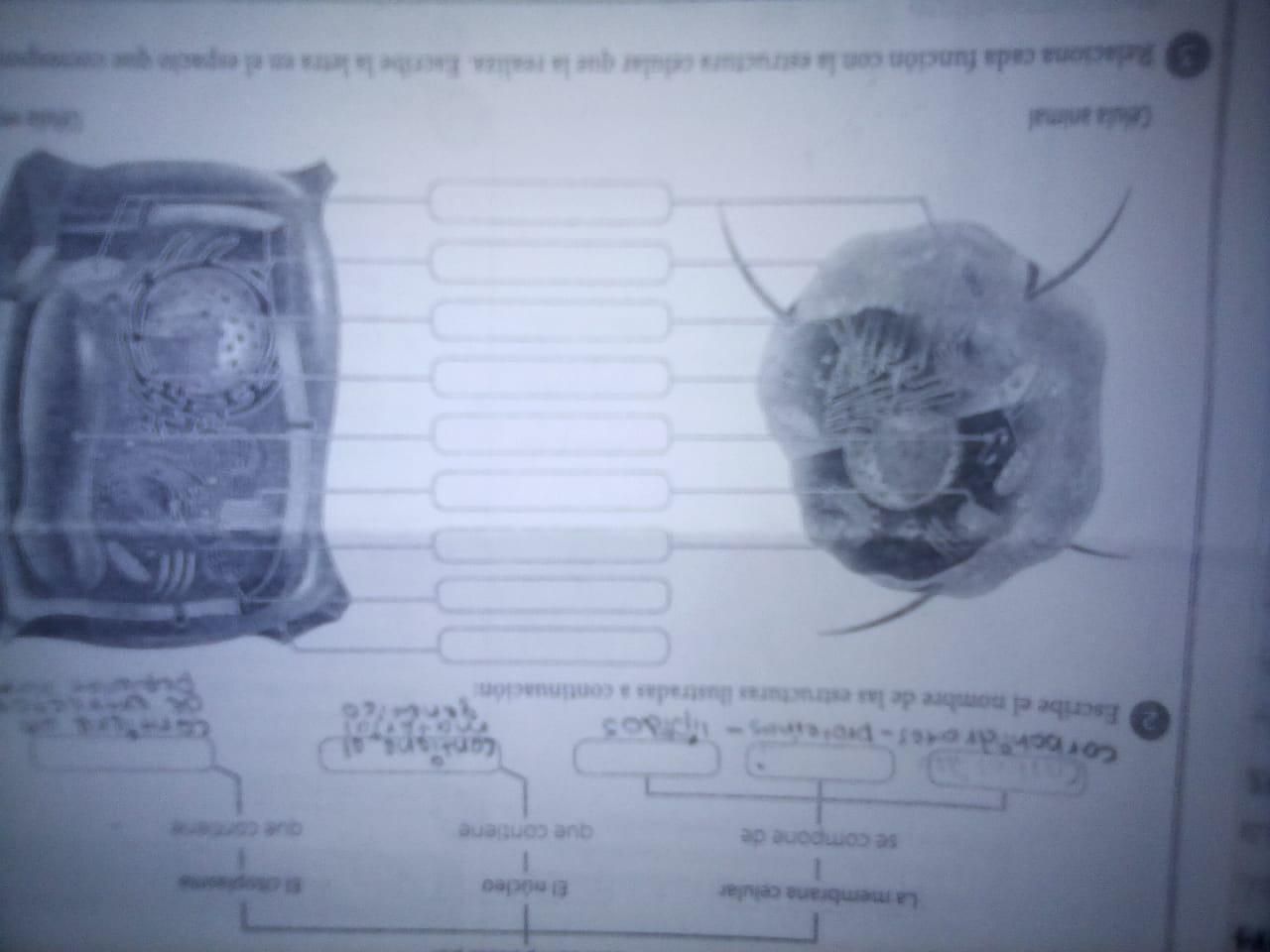 Estructura De La Célula Animal Y Vegetal Brainly Lat
