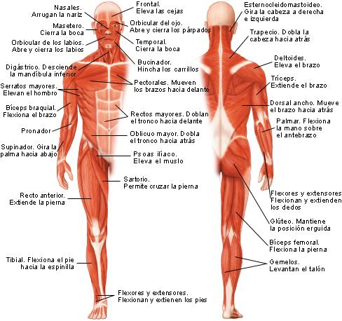 Musculos del cuerpo humano con nombres y funcion . - Brainly.lat