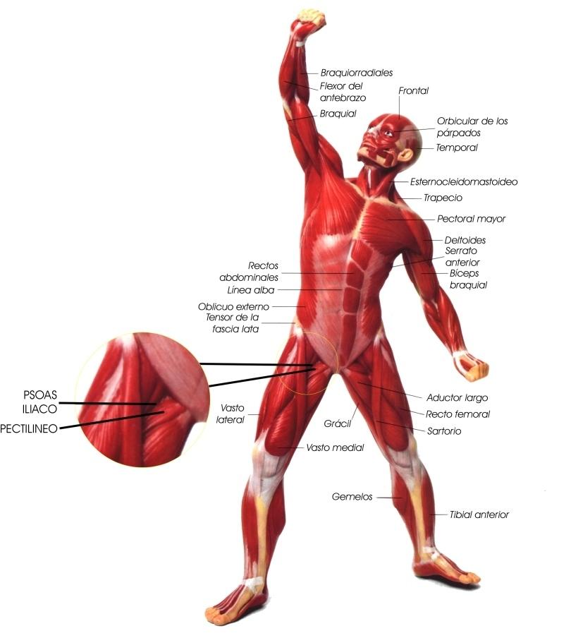 una imagen de un musculo visceral xfa para hoy y la 1° respuesta la ...