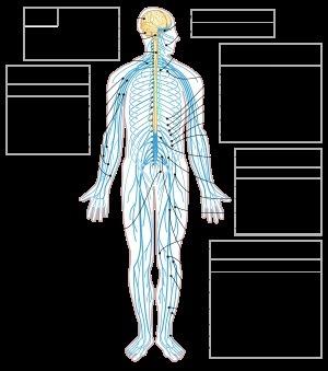 Sistema Nervioso Humano Estructura Función Y Clasificación